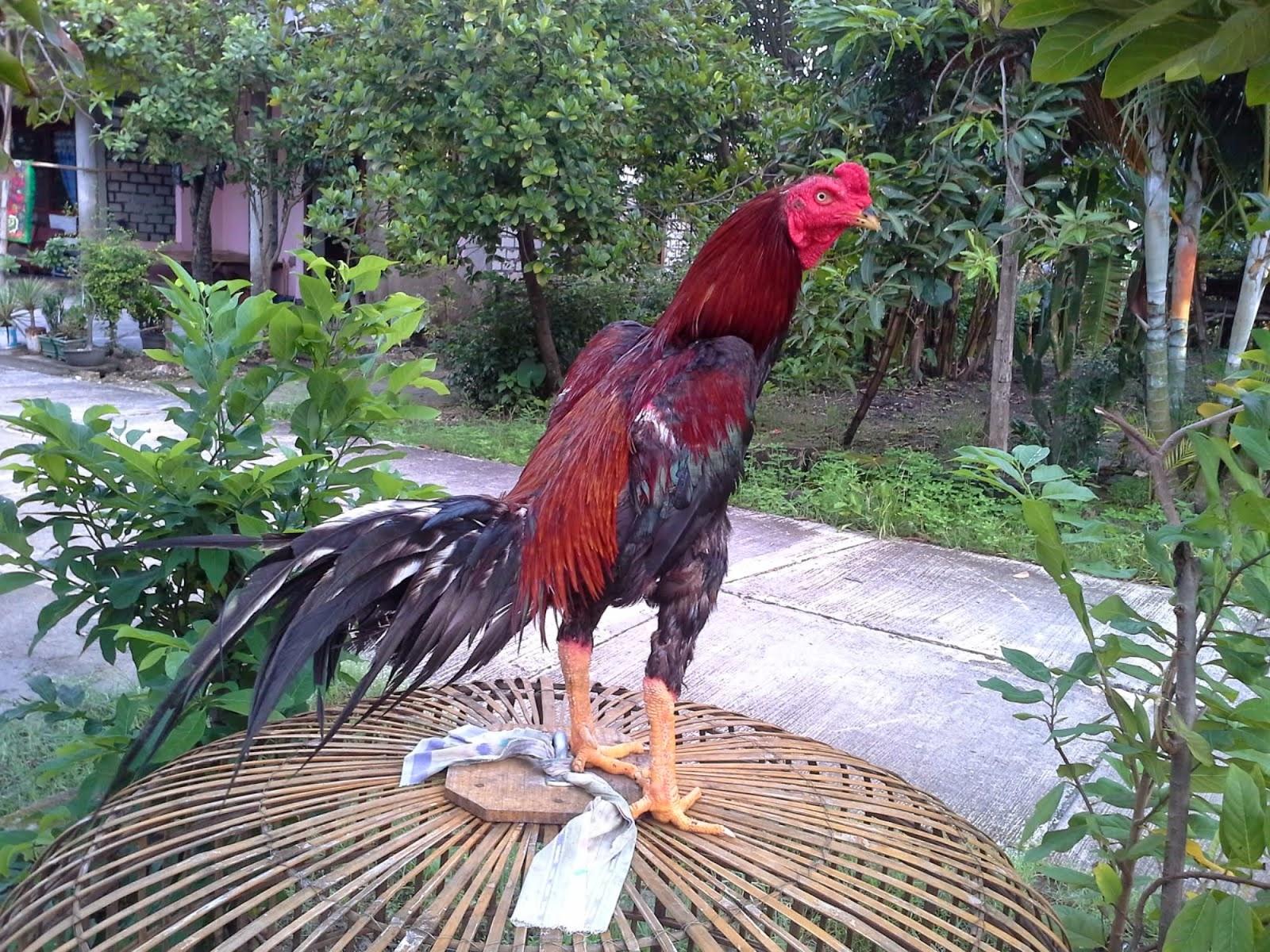 Ciri-Ciri Ayam Bangkok Pukul Mati