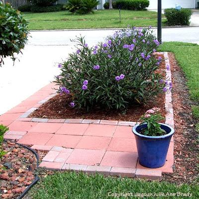 Mexican Petunia Garden : Front Yard 2013