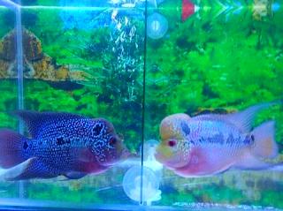 Budidaya ikan louhan menggunakan aquarium