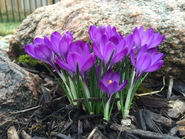 purple crocus side view