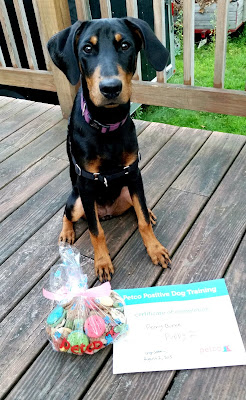 Penny think graduation rocks when you get a BIG bag of treats from your favorite #Petco trainer! #DogTraining ©LapdogCreations