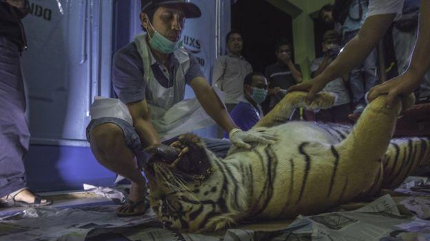 harimau sumatera mati terjerat perngakap babi hutan
