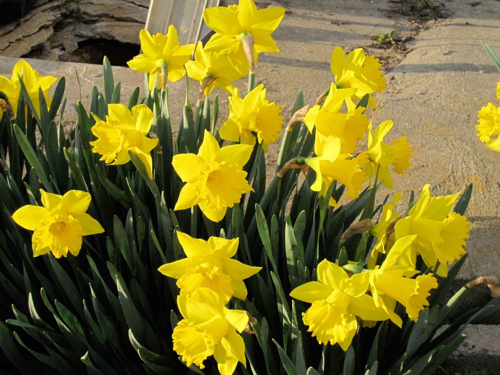 cwaux: Gentle Daffodils in Spring HD Wallpaper