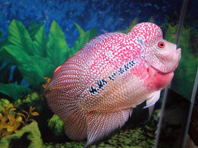 Cara Budidaya Ikan Hias Air Tawar Untuk Pemula