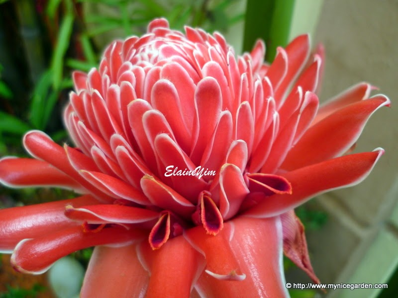 My nice garden torch ginger flower seeds germination i have a torch ginger plant etlingera elatior which we call bunga kantan in malaysia though it takes up a lot of my garden space ccuart Images
