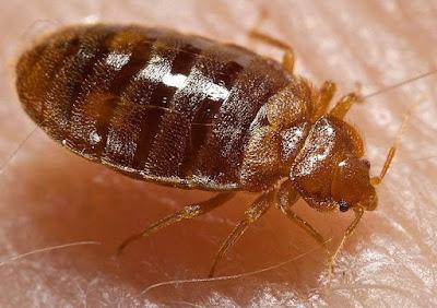 10 เรื่องควรรู้เกี่ยวกับตัวเรือด (Bed Bug) แมลงดูดเลือดระบาดง่ายกำจัดยาก