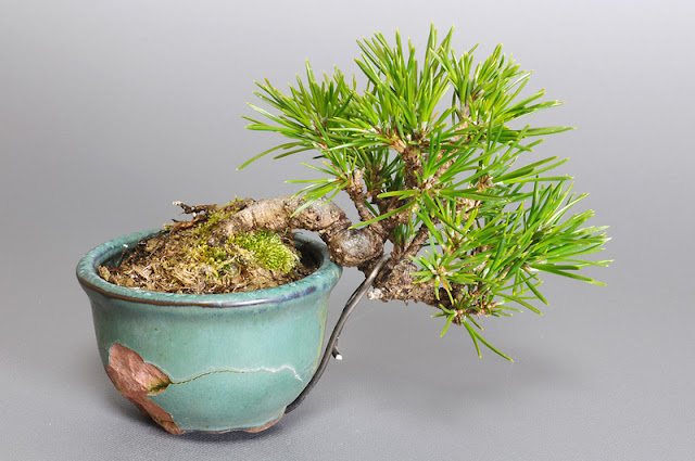 クロマツ-G1(黒松盆栽)Pinus thunbergii bonsai