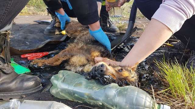 A Dog Trapped In Tar Kept Barking To Be Found By Someone