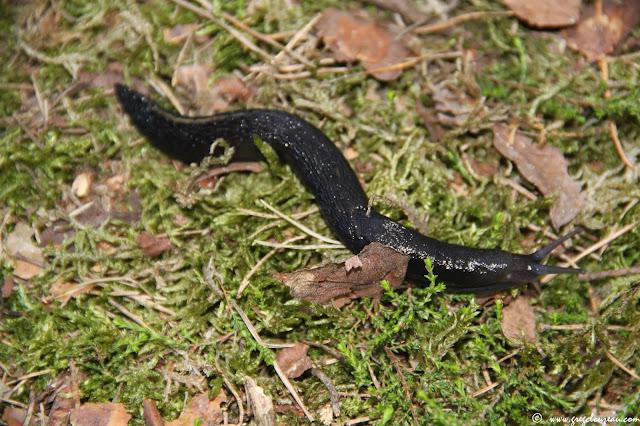 Loche noire, Arion ater ater, Fontainebleau, (C) 2015 Greg Clouzeau