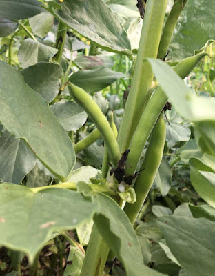 broad beans on the plant