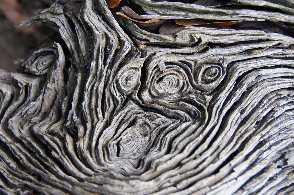 Oak tree knots