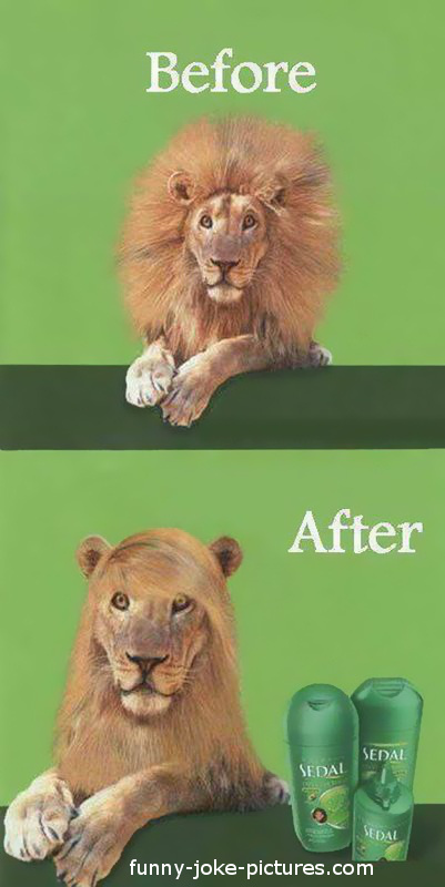 Hilarious Lion Before After Conditioner Advert Picture