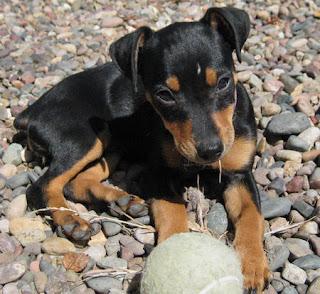 Cute Boston Terrier Wallpaper Cute Dogs Miniature Pinscher Dog