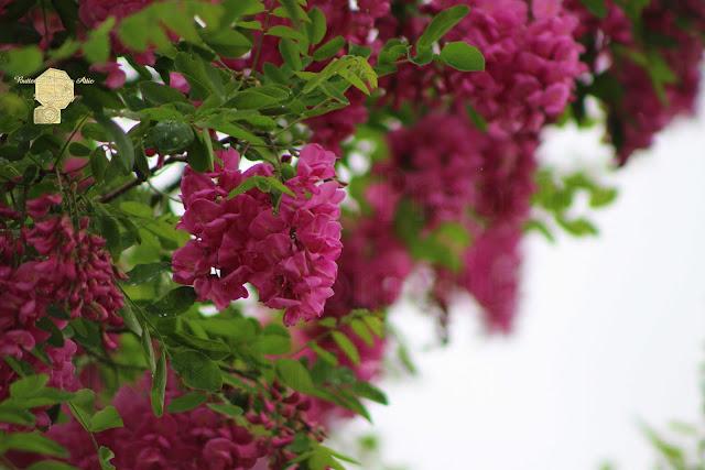 Amaranth Pink Flowering Locust Tree In Spring Rain Fine Art Photography