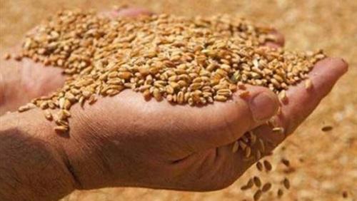 مكتب الحبوب بالسويداء: استلام القمح (دوغما) لكميات 10 أطنان فما فوق