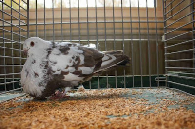 canario cropper - spain pigeons