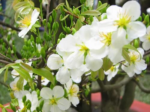 hình ảnh hoa mai ngày Tết 2014