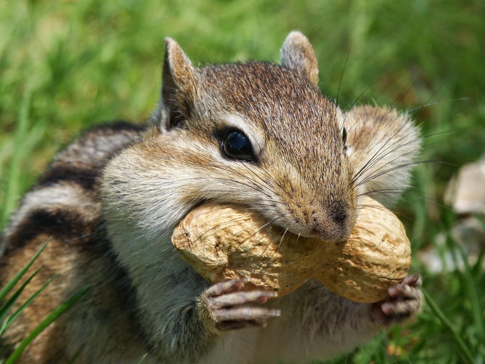 Pahistorybooks Pennsylvania Animals Eastern Chipmunk