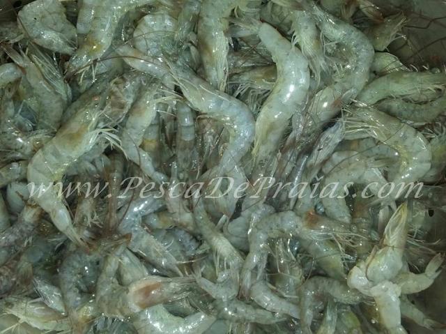 Foto de iscas para pesca de praia camarão, corrupto, minhoca de praia, lula, marisco, taui e sardinha