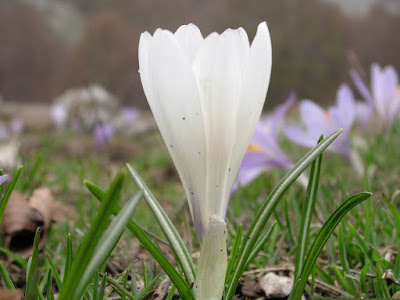 Crocus Selvatico