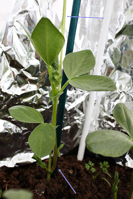 The second stem on one of the broad bean plants