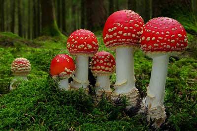 Filum Basidiomycota