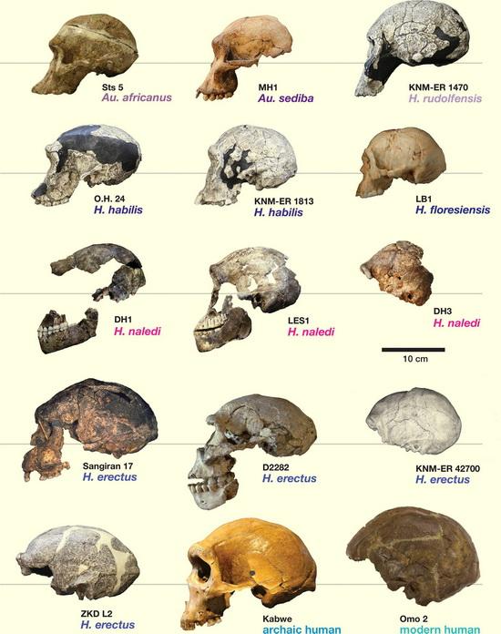 www.LaporanPenelitian.com Homo naledi Hidup dengan Homo sapiens Sampai Pleistosen Tengah