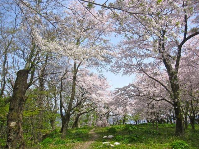 Hoa anh đào tại Nhật Bản