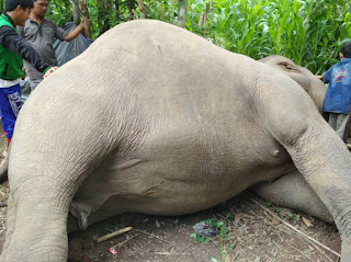Gajah meninggal tanpa meninggalkan Gading di mekakau ilir  OKU