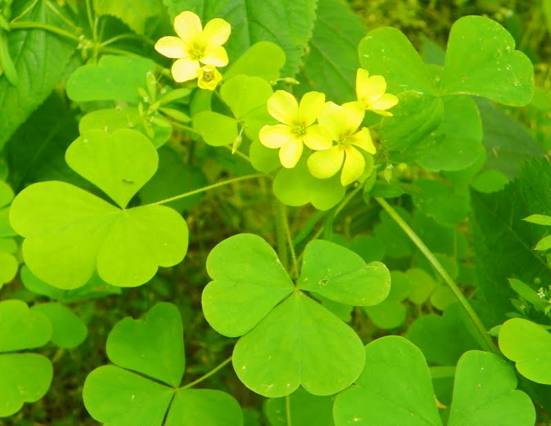 Whats blooming now great yellow wood sorrel oxalis grandis great yellow wood sorrel oxalis grandis mightylinksfo