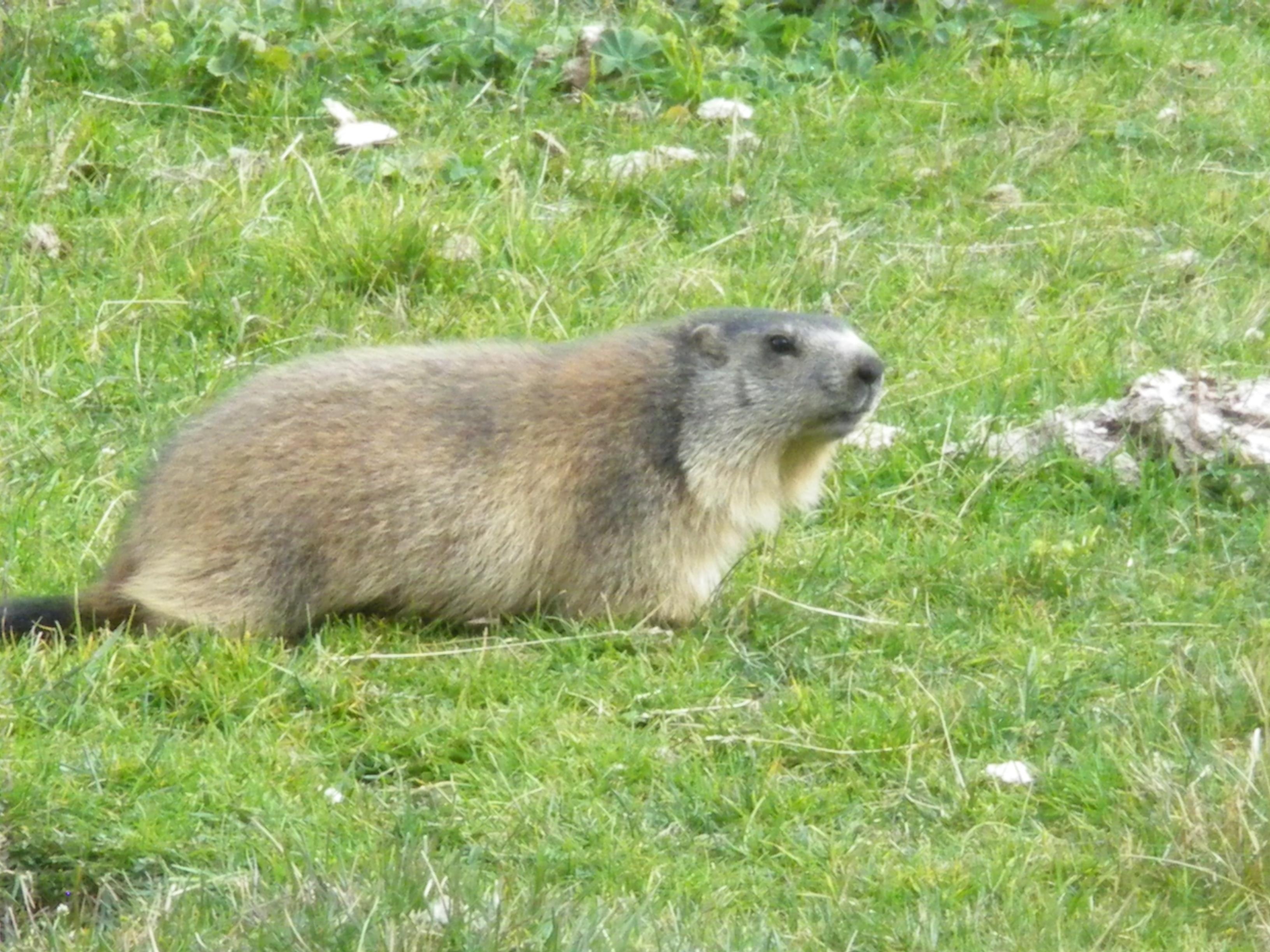 Haute Romanche, marmota, Alpe du Villar d'Arene, Hautes Alpes, France, Parc National des Ecrins