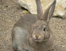 pemasaran ternak kelinci