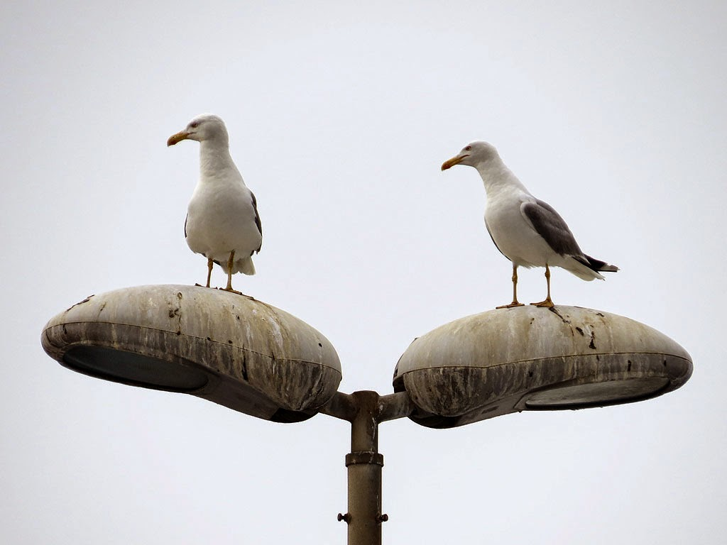 Two gulls on a lamp post, Porto Mediceo, Livorno