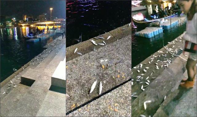 愛河 魚 跳上岸 愛河的魚都冷到跳出來 影片