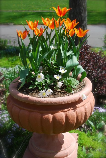 Tulip 'Ballerina' in an urn atop the Hill Garden with white Anemone blanda.