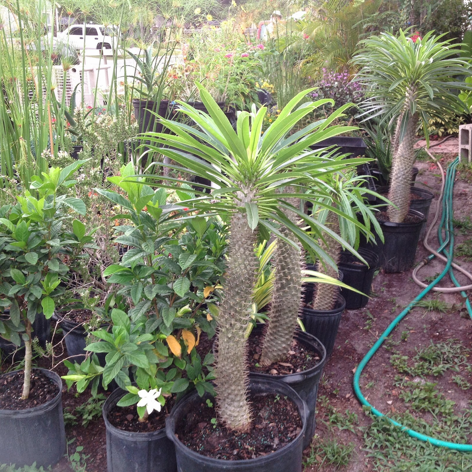 HeyPlantMan! Exotic Tropical Plants From St. Pete FL: We