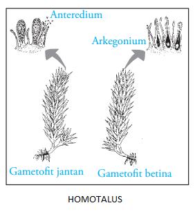 homotalus
