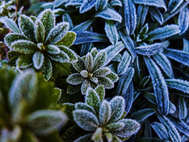 A close up image of frost covered azalea leaves.
