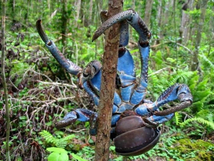 giant coconut crab facts - photo #9