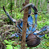 Coconut Crab-Largest Land-Living Arthropoda In The World
