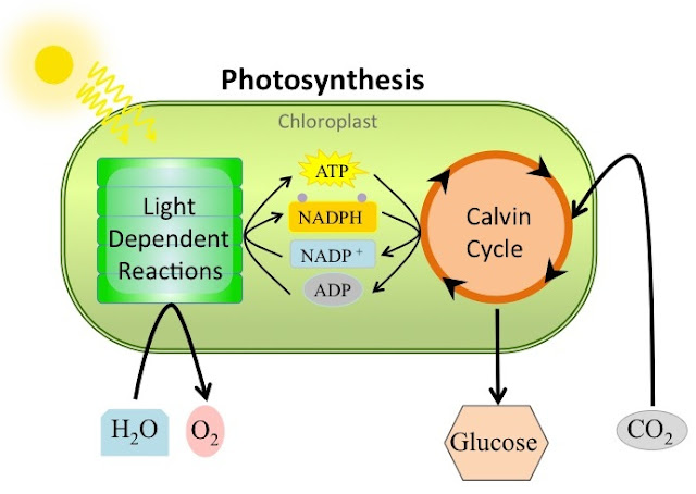 photosynthesis reactions light independent dependent overview stages cycle calvin main biology level explanation explain rely would notes