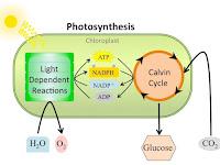 Light Reaction Diagram