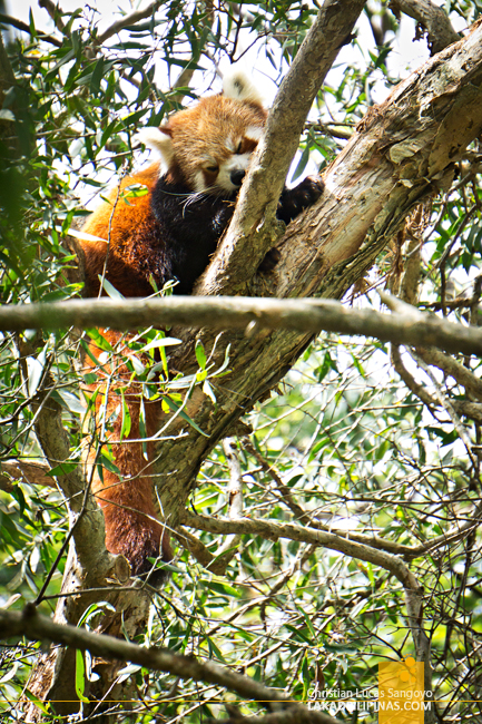 Currumbin Wildife Sanctuary Lost Valley Red Panda Australia