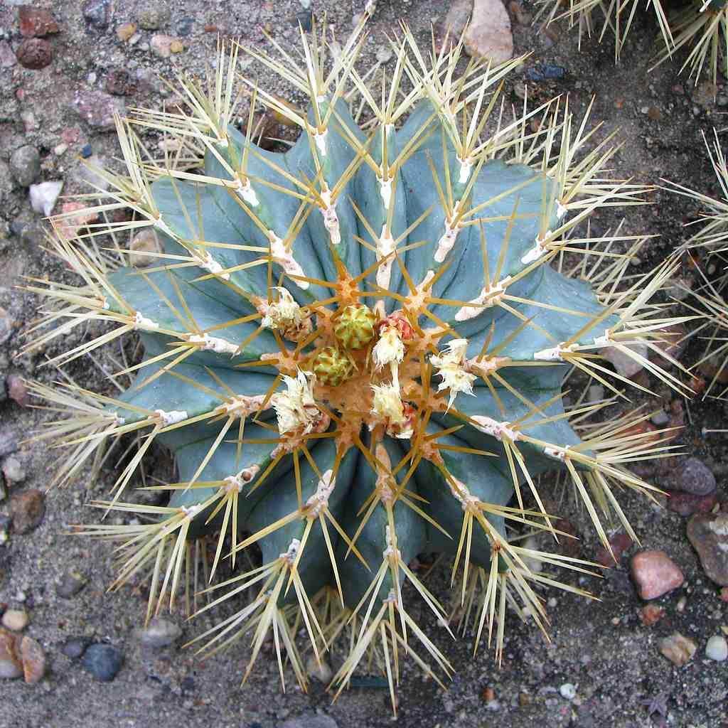 Pictures Of Catus: PlantWerkz: Blue Barrel Cactus