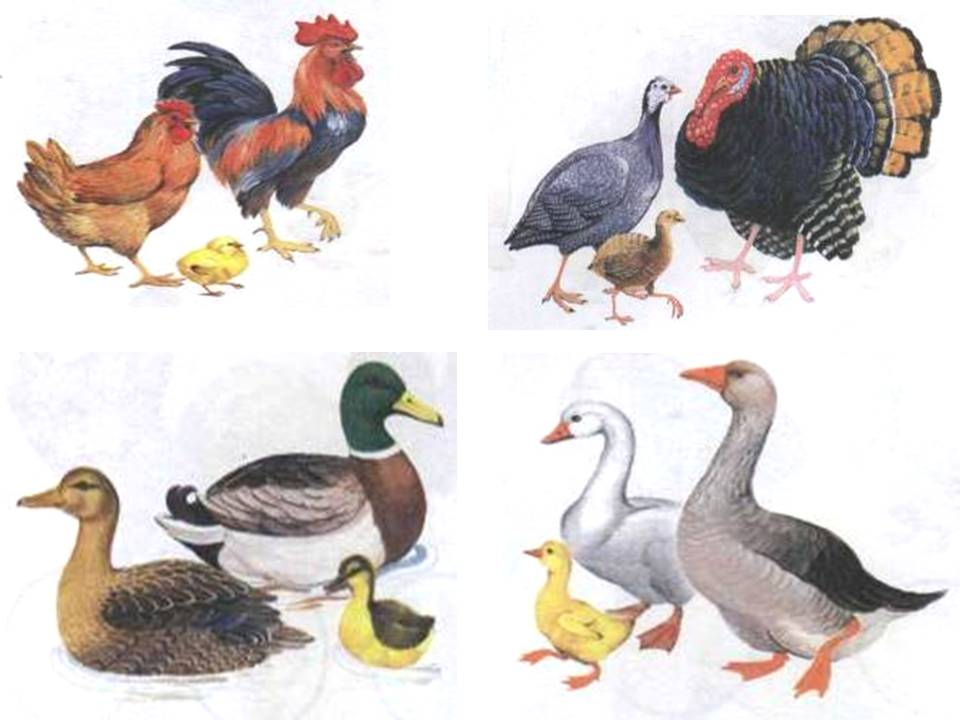 картинки домашних животных и птиц для малышей