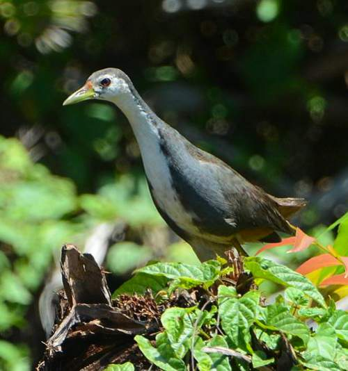 Birds of India - white-breasted waterhen (Amaurornis phoenicurus)