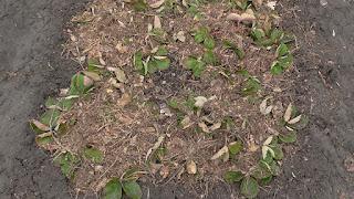 Клубнику укрываю на зиму сосновой хвоей, конец апреля