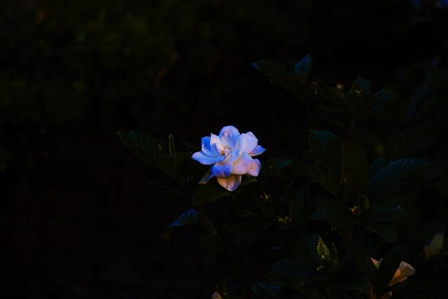 Flor.Jazmín