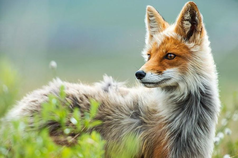 Incredible Portraits Of Wild Foxes from A Mining Engineer Ivan Kislov