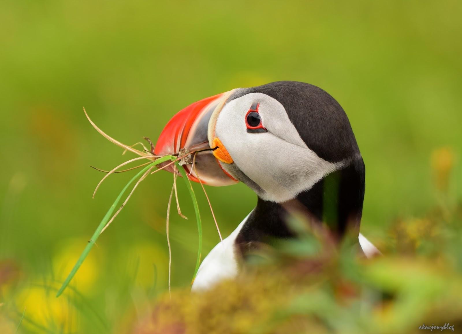 Ptaki Islandii - część 2.